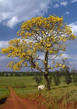 Árbol del Ipe