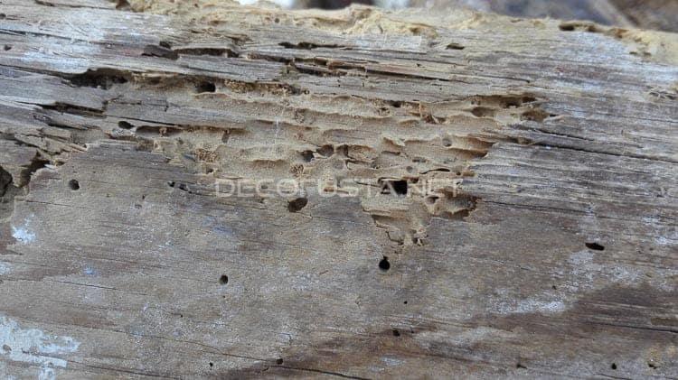 carcoma o termitas